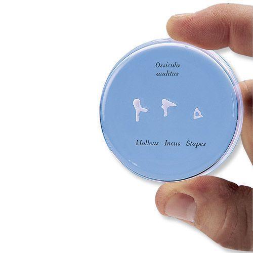 Model kosteczek słuchowych naturalnej wielkości E13