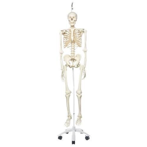 STAN, Model szkieletu człowieka na statywie A10/1
