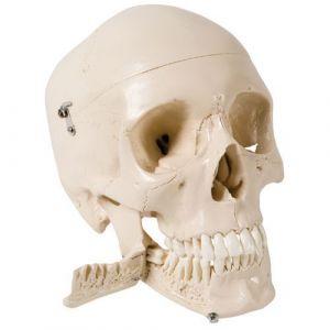 Czaszka z zębami do usuwania, 4-częściowa W10532