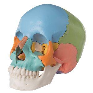 Model czaszki dorosłego człowieka - dydaktyczny, kolorowa wersja, 22 części A291