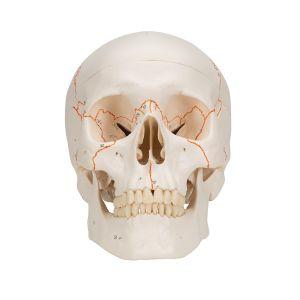 Klasyczny model ludzkiej czaszki, 3 części, A21