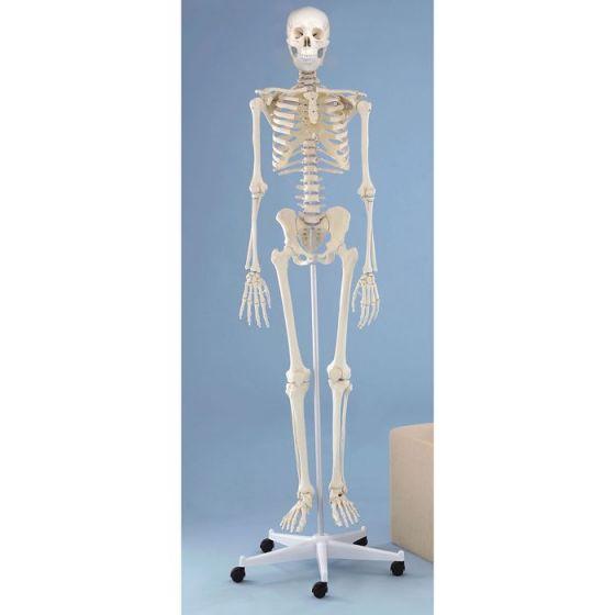 Model szkieletu Willi na statywie Erler Zimmer