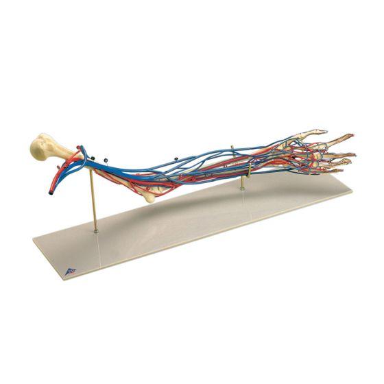 Model ramienia z układem naczyniowym W19019
