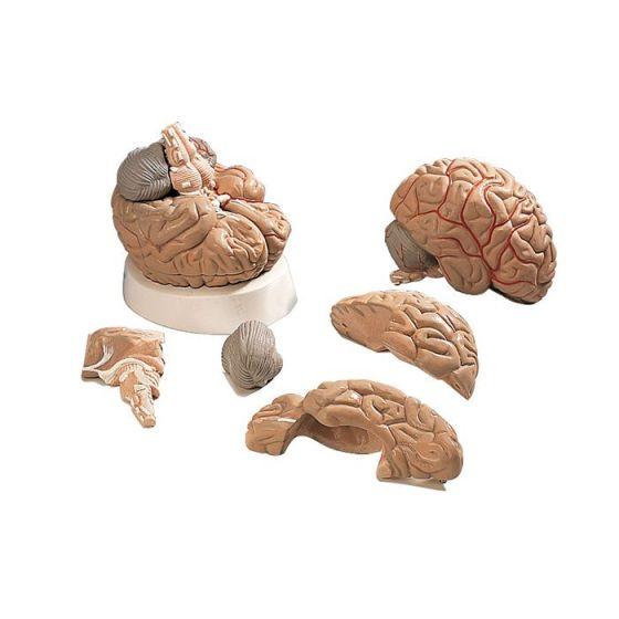 Model mózgu z tętnicami VH405