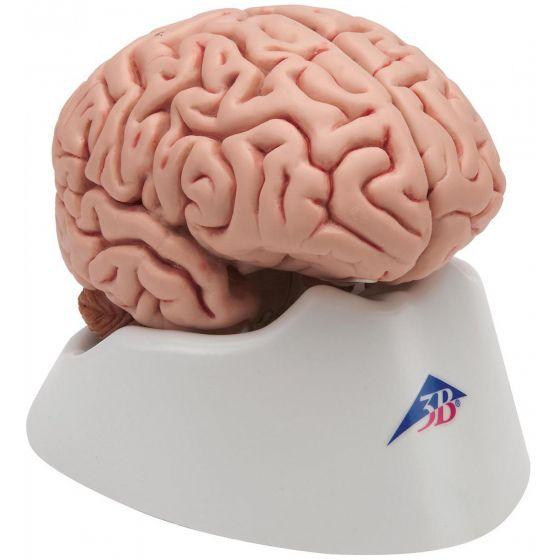 Klasyczny 5-częściowy model mózgu C18