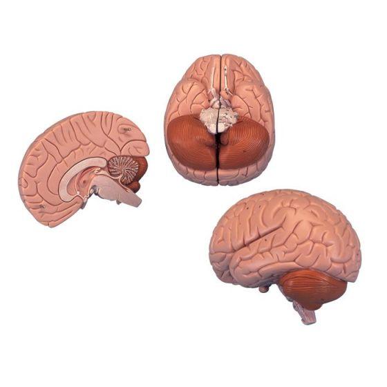 Standardowy model mózgu C 15