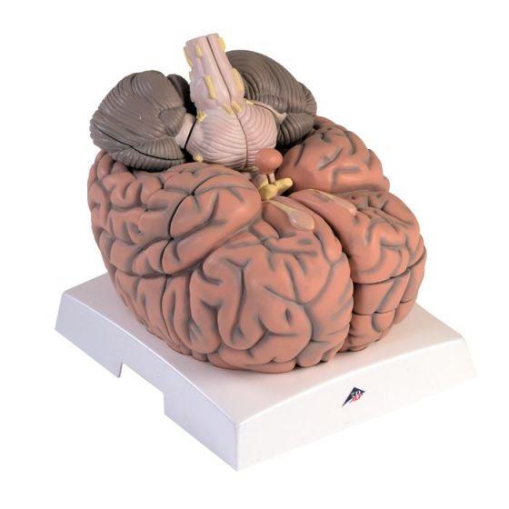 Mózg gigant, powiększony 2,5 krotnie, 14 części VH409