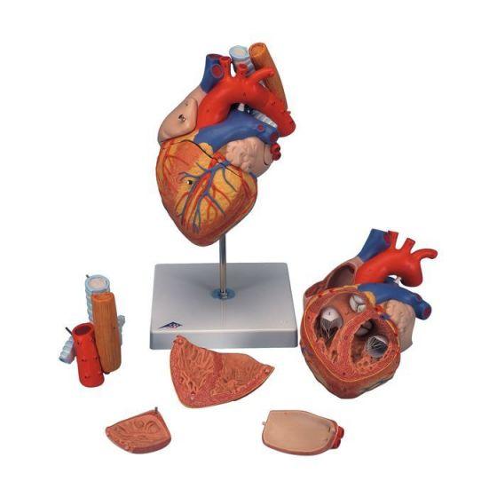 Model serca z przełykiem i tchawicą G13