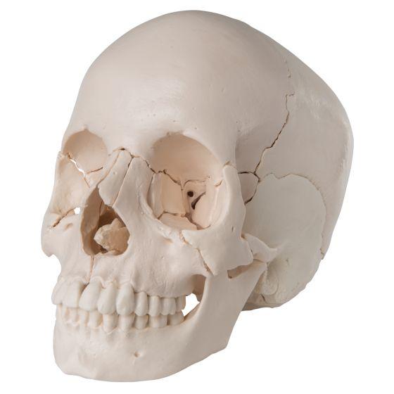 Składana czaszka dorosłego człowieka model anatomiczny 22-częściowy A290