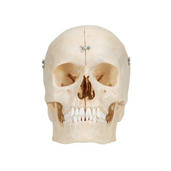 Model czaszki BONElike™, 6 części A281