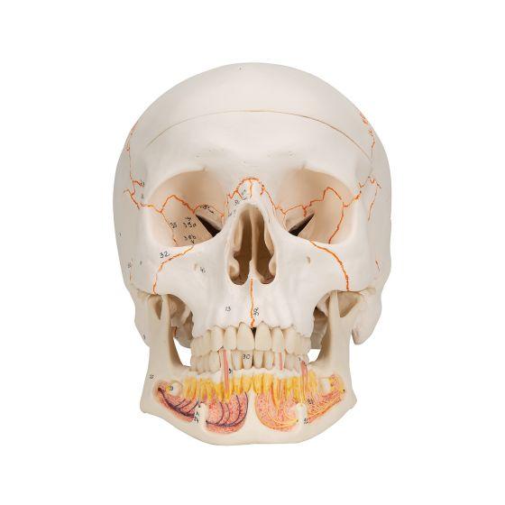 Klasyczny model czaszki z odkrytą dolną szczęką A22