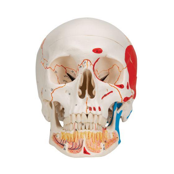 Standardowy model czaszki z odkrytą dolną szczęką A22/1