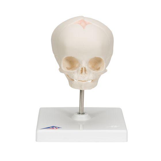 Model embrionalnej czaszki w 30 tygodniu ciąży, na statywie A26