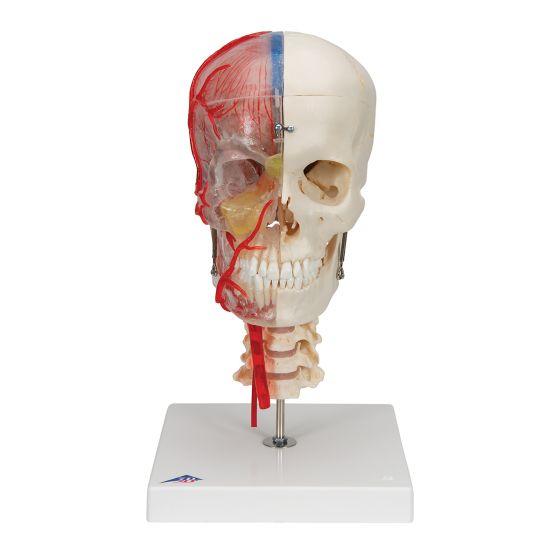 Model czaszki łączonej przezroczysto/kostnej (BONElike™ ) A283