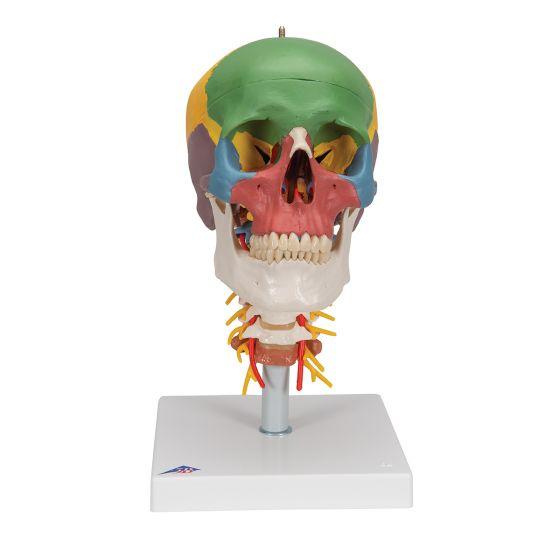 Model dydaktyczny czaszki na kręgosłupie szyjnym A20/2