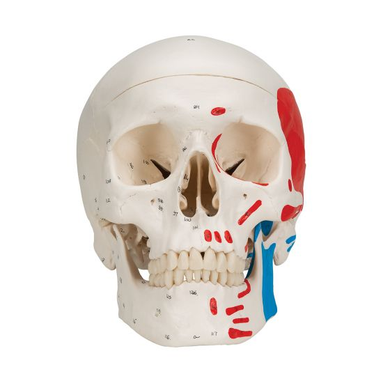 Klasyczny model czaszki A23