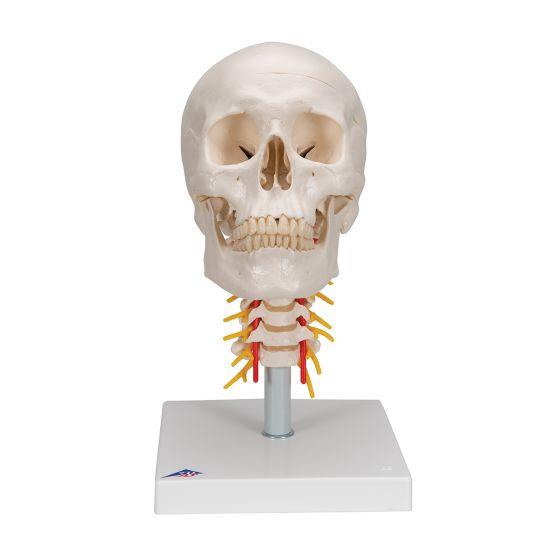 Model ludzkiej czaszki z kręgami szyjnymi, A20/1