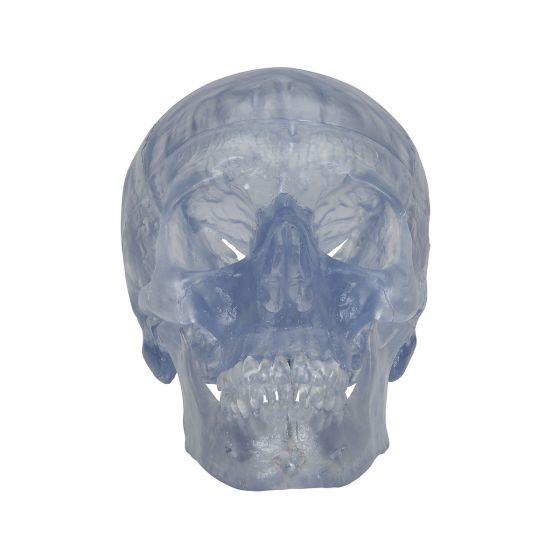 Model przezroczystej, standardowej czaszka A20/T