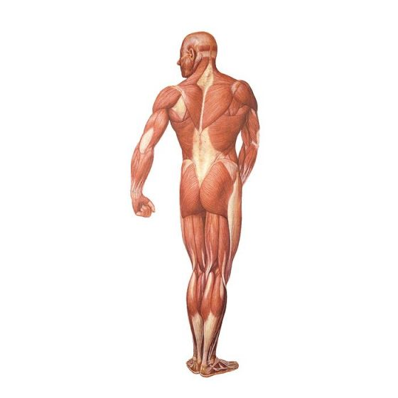 Układ mięśniowy, tył  V2005U