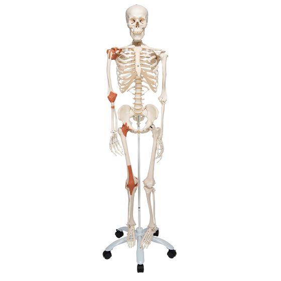 Model szkieletu LEO z więzadłami, stojący na statywie, A12