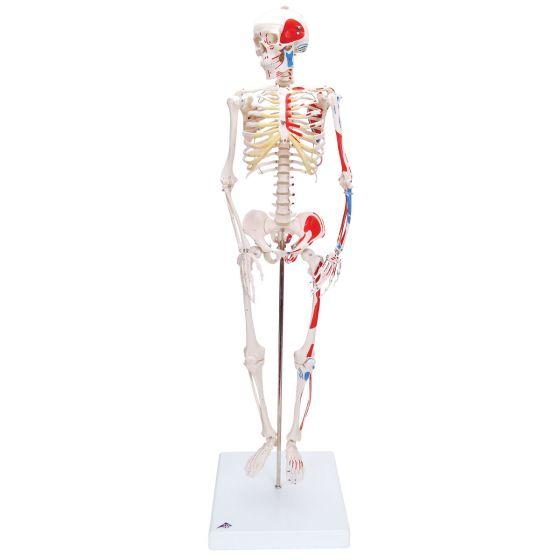 """Miniatura modelu szkieletu - """"Shorty"""" -  z pomalowanymi przyczepami mięśniowymi A18/5"""