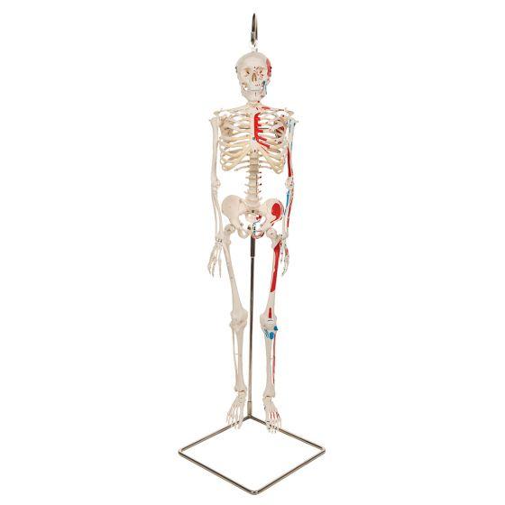 """Miniaturowy model szkieletu - """"Shorty"""" – z ręcznie pomalowanymi mięśniami podwieszony na statywie A18/6"""