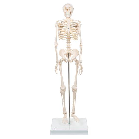Mini szkielet Shorty na statywie A18