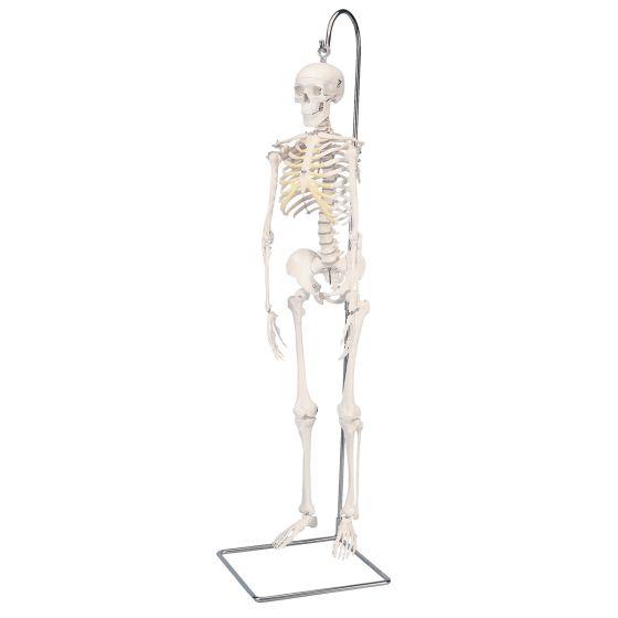 Model miniatury ludzkiego szkieletu - shorty - A18/1 na stojaku