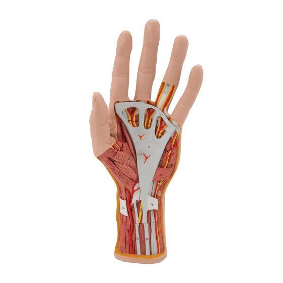 Model ręki, 3 części M18