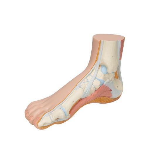 Model ludzkiej stopy M30