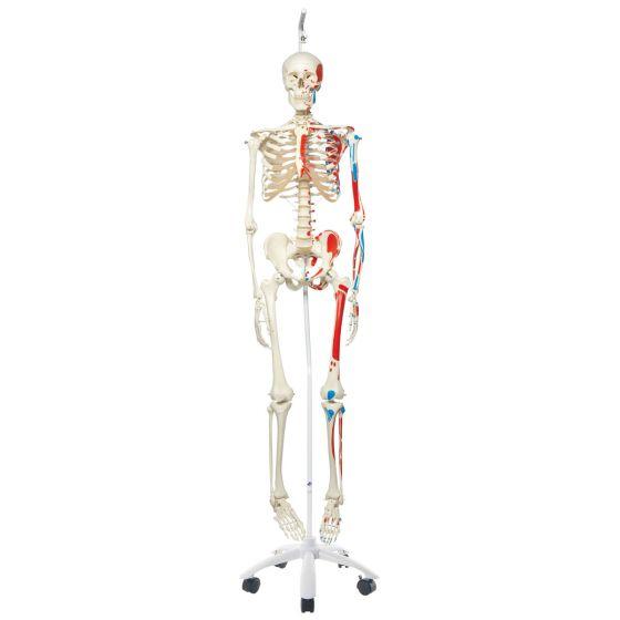 Model szkieletu MAX na statywie, A11/1