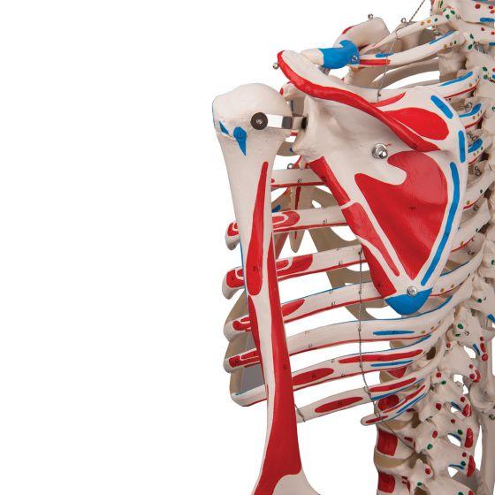 Szkielet Anatomiczny MAX stojący na statywie, A11
