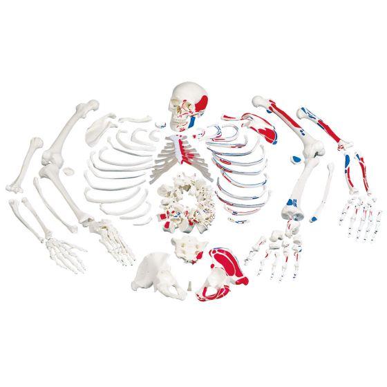 Zdemontowany model ludzkiego szkieletu z pomalowanymi przyczepami mięśniowymi A05/2