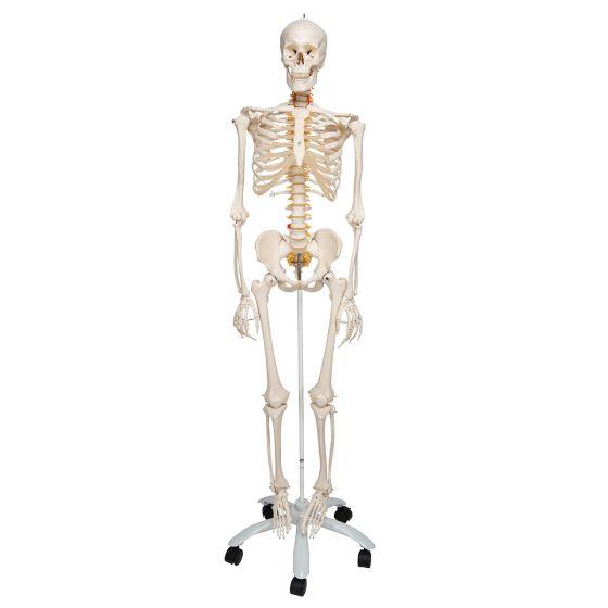 Elastyczny model ludzkiego szkieletu FRED, z zamontowanymi nogami i rękami A15
