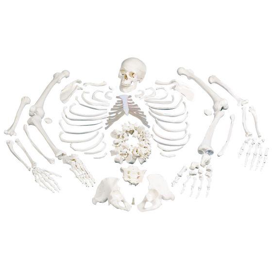 Rozmontowany model szkieletu ludzkiego A05/1