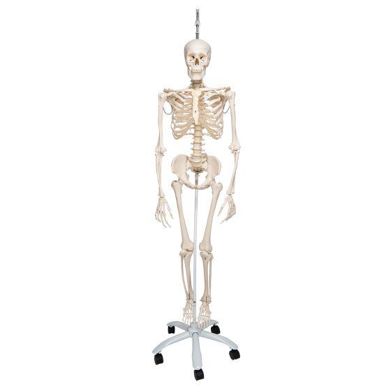 Funkcjonalny model szkieletu człowieka, A15/3