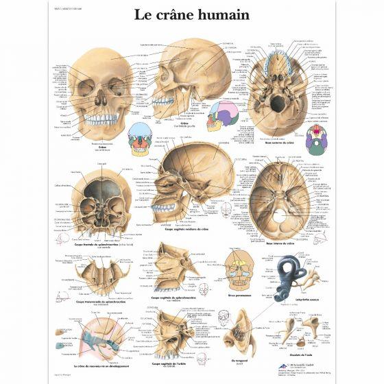 Ludzka czaszka VR2131L