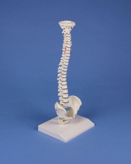 Miniaturowy model kręgosłupa Erler Zimmer